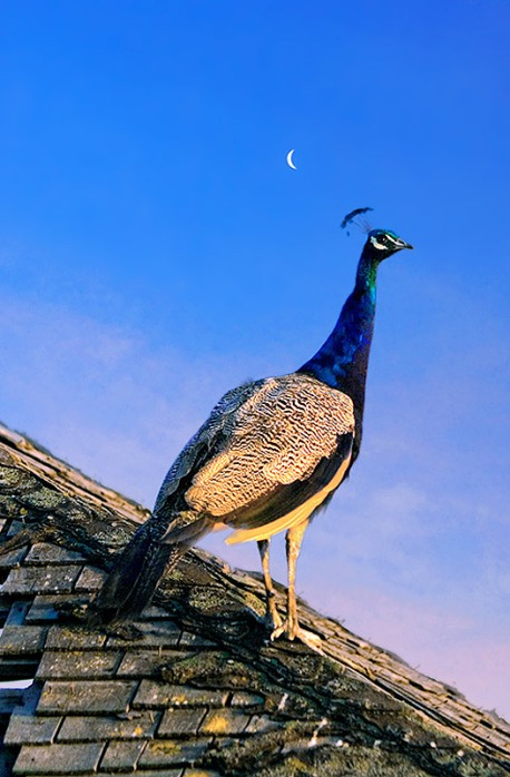 Peacock-on-Roof-with-Moon